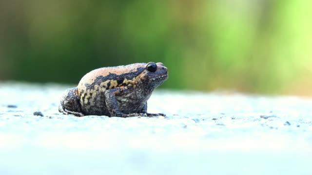 vídeos de stock e filmes b-roll de bullfrog on the road - sapo