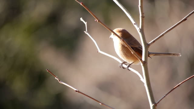 bull-headed shrike (butcher-bird, lanius bucephalus) - bird hunting stock videos & royalty-free footage