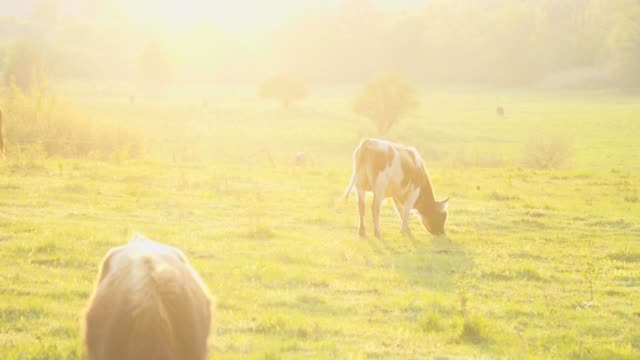 bulls on field grazing outdoors at sunset light. livestock ranch. - milk cow stock videos & royalty-free footage