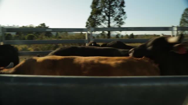 Bulls running along a narrow path