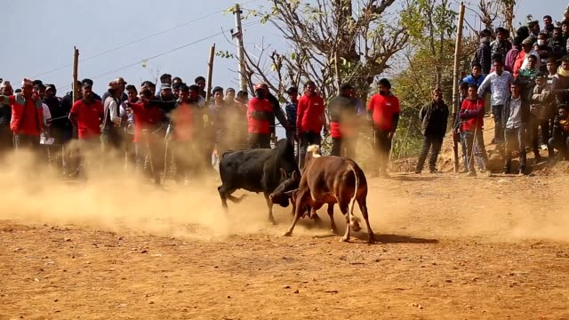 Bulls seen fighting during the festival organized to mark Maghe Sangranti or Makar Sankranti festival in Taruka village at Nuwakot district some 80...