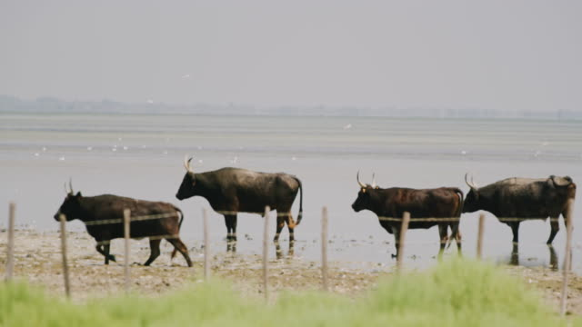 ls bulls wading in the shallow water - grazing stock videos & royalty-free footage