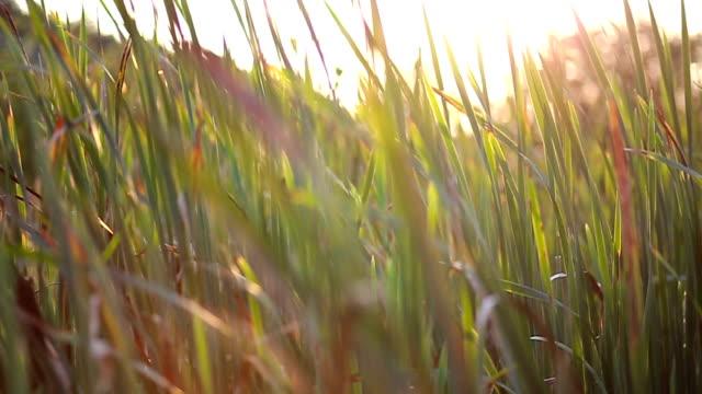 bulrush among green grass - bulrush stock videos & royalty-free footage