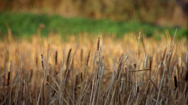 bulrush plants in field - bulrush stock videos & royalty-free footage