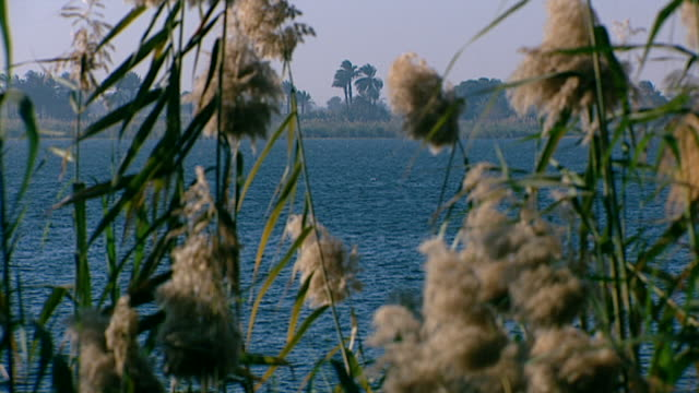 bulrushes on the nile. close-up view of a choppy nile through swaying bulrushes growing on the banks of the nile river. - reed grass family stock videos & royalty-free footage