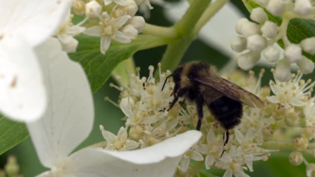 bumble bee actively foraging on white flowers - foraging stock videos and b-roll footage