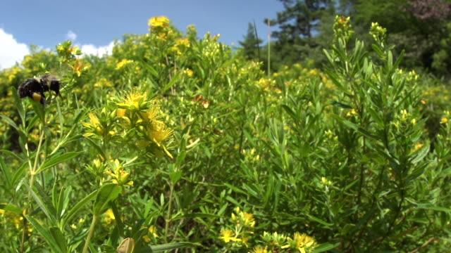 vídeos de stock, filmes e b-roll de bumble bee arrives and hovers around yellow hypericum, fisheye high speed - mangangá