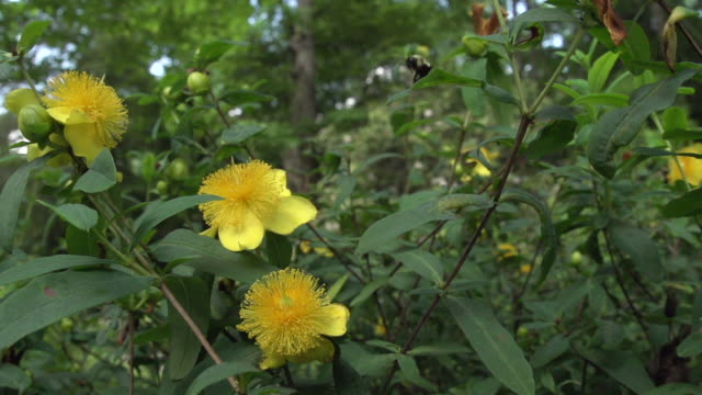 bumble bee arrives at group of hypericum blooms, fisheye high speed - medium group of animals点の映像素材/bロール