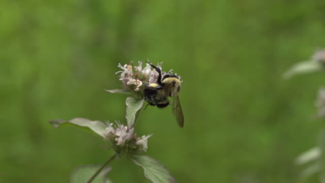 bumble bee breaks apart mint flower, high speed - impollinazione video stock e b–roll