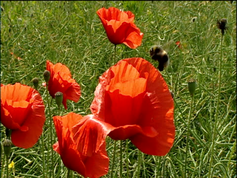 bumble bee buzzes around bright red field poppy in green grass cotswolds - 受粉点の映像素材/bロール