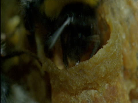bumble bee constructs brood cell in nest - erektion stock-videos und b-roll-filmmaterial