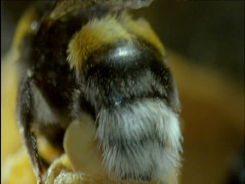bumble bee dumps pollen into storage chamber in nest - bumblebee stock videos & royalty-free footage