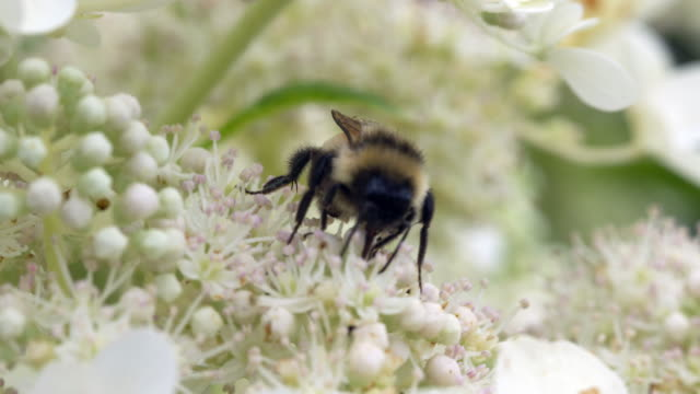 Bumble Bee Feeding on Flower, 4k
