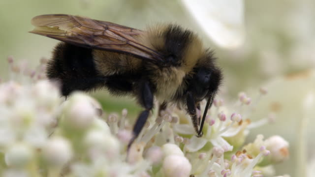 Bumble Bee Feeding on Flowers, Extreme Closeup