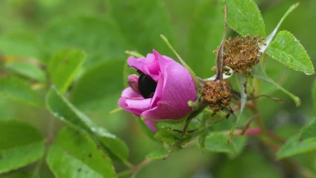 bumble bee feeding on swamp rose + slow panning takeoff, high speed - ståndare bildbanksvideor och videomaterial från bakom kulisserna