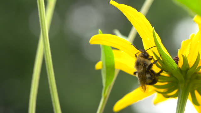 bumble bee feeds on yellow flower - foraging stock videos & royalty-free footage