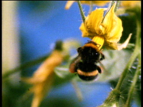 bumble bee flaps wings as he collects pollen from yellow flower - 受粉点の映像素材/bロール