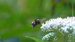 Bumble bee flying landing