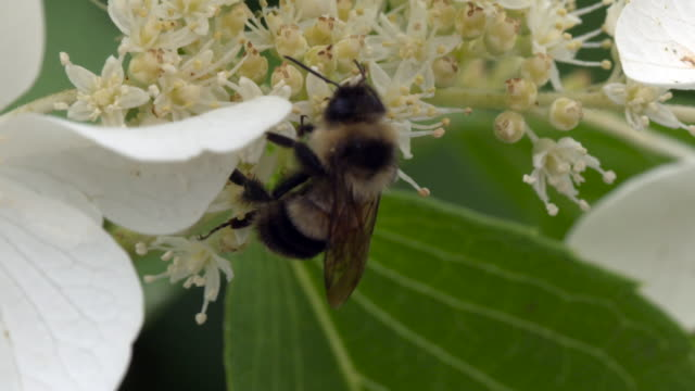 bumble bee forages on flowers - foraging stock videos and b-roll footage