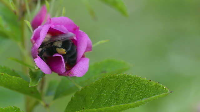 Bumble bee foraging inside pink Swamp Rose, high speed close up