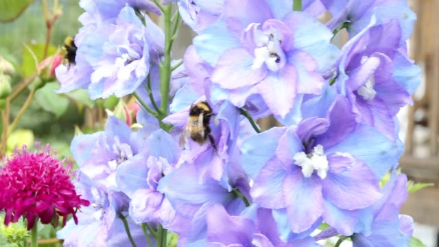 a bumble bee gathering pollen on a delphinium flower in a garden in ambleside, cumbria, uk. - ranunculus stock videos & royalty-free footage