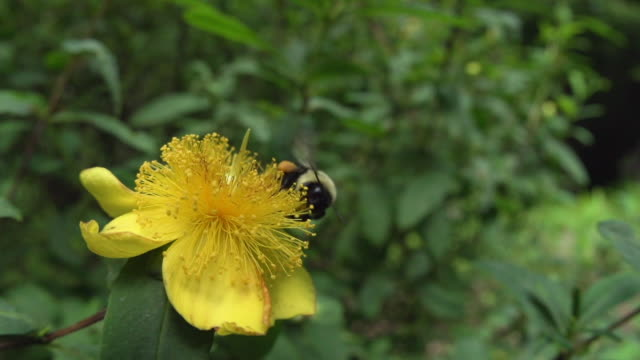 Bumble bee high speed, fisheye takeoff from large yellow Hypericum flower