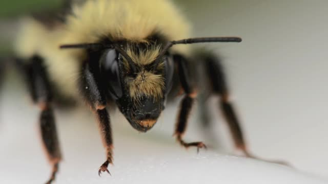 bumble bee insect close up - bee stock videos & royalty-free footage