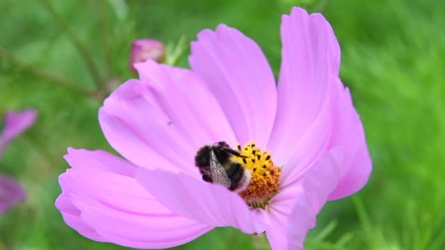 bumble bee on a pink flower. - flower head stock videos & royalty-free footage