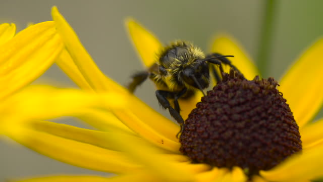 bumble bee on black-eyed susan - bumblebee stock videos & royalty-free footage