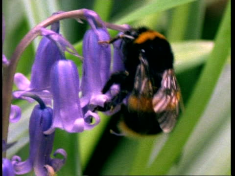 cu bumble bee on bluebell, cleans pollen from itself - bee stock videos & royalty-free footage