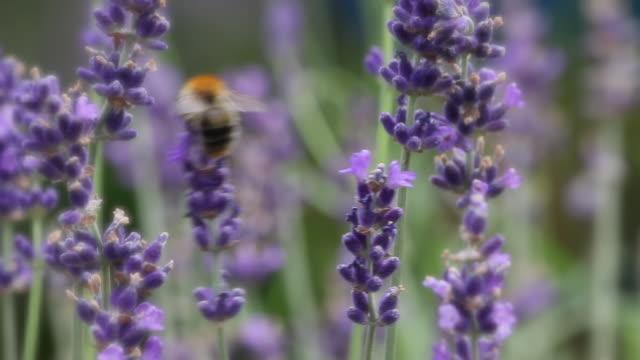 stockvideo's en b-roll-footage met bumble bee on lavender - honingbij
