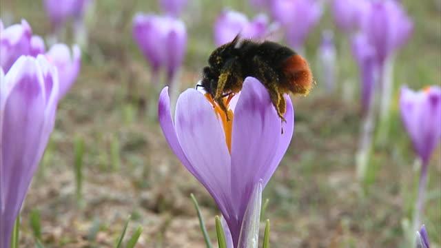 slo mo cu bumble bee on purple saffron crocuses (crocus sativus), vrhnika, slovenia - vrhnika stock videos & royalty-free footage
