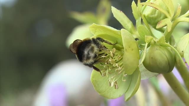slo mo cu bumble bee on yellow flower, vrhnika, slovenia - vrhnika stock videos & royalty-free footage