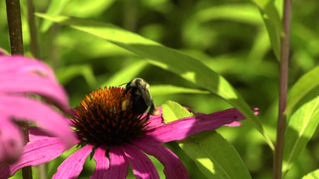 a bumble bee pollinates and takes off from a pink colored coneflower basking in the sun light. - sonnenhut stock-videos und b-roll-filmmaterial