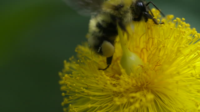 Bumble bee pollinating on large hypericum, extreme closeup HS