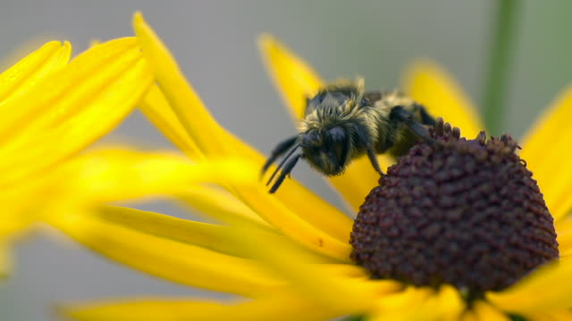 vídeos de stock, filmes e b-roll de bumble bee sleeping on yellow flower - girassol