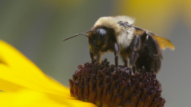 Bumble bee stands still on top the stigma of a Black-Eyed Susan