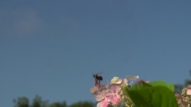 Bumble Bee Takeoff from Flowers w/Blue Sky, then Turns to Fly Towards Camera