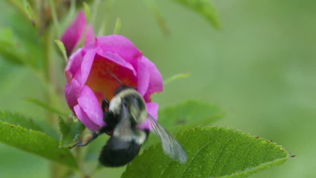 Bumble bee takeoff from pink Swamp Rose, high speed