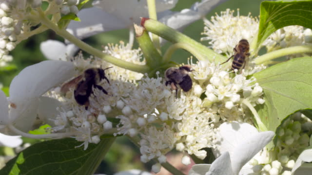 bumble bees and honeybees foraging & flying around hydrangeas together - foraging stock videos & royalty-free footage