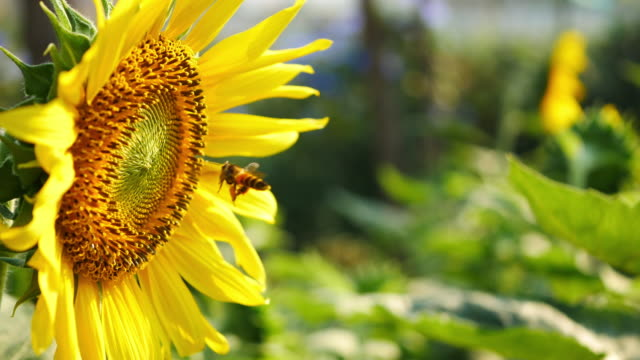 bumble bees collecting pollen from a sunflower - bee stock videos & royalty-free footage