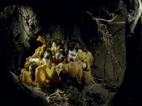 bumble bees inside their underground nest - nest stock-videos und b-roll-filmmaterial