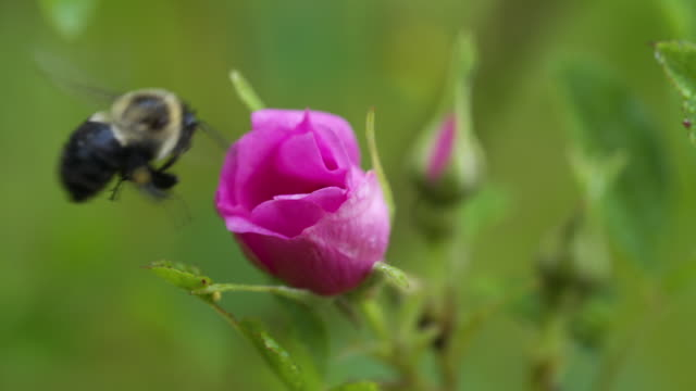 Bumble bees leaving and landing on swamp rose, real time