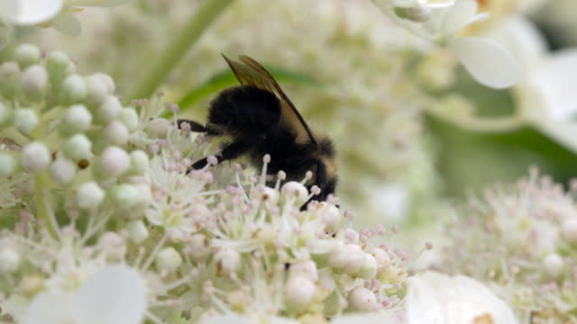 bumble feeding on flowers w/other bees - foraging stock videos and b-roll footage