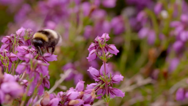 bumblebee (bombus sp) collecting nectar from bell heather (erica cinerea), south downs - サウスダウンズ点の映像素材/bロール