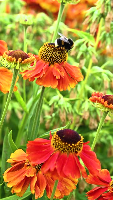 bumblebee collecting pollen from a flower - johnfscott stock videos & royalty-free footage
