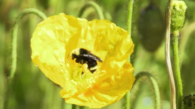 cu bumblebee collecting pollen from california golden poppy flower, north plainfield, new jersey, usa - staubblatt stock-videos und b-roll-filmmaterial