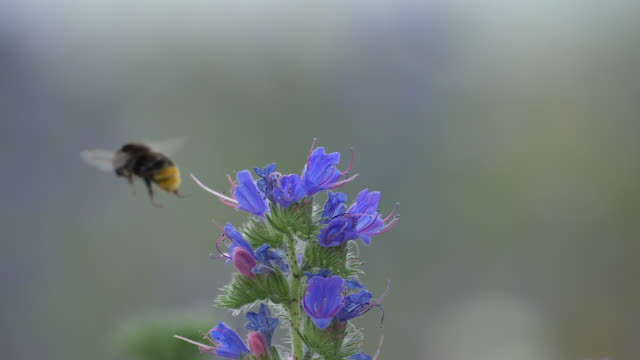 Bumblebee collects pollen on viper´s bugloss and flies off, slow motion