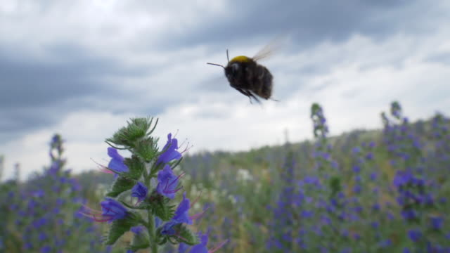 bumblebee collects pollen on viper´s bugloss, slow motion - bee stock videos & royalty-free footage