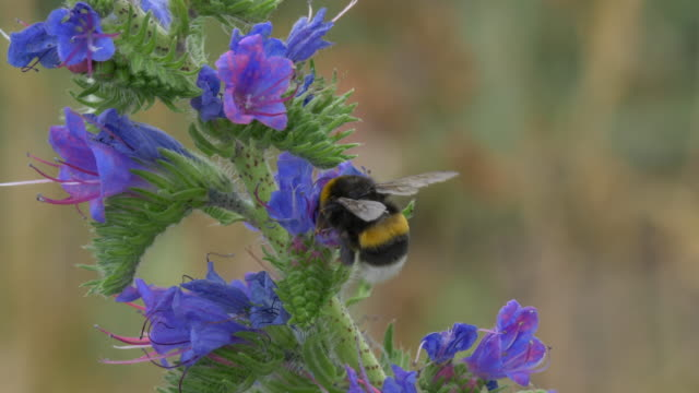 Bumblebee collects pollen on viper´s bugloss, slow motion